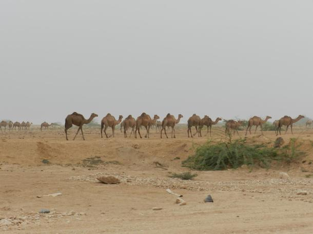 camels move out of the mountains to the plains to avoid slipping on the mud caused by the dizzle rain copyr. MDK