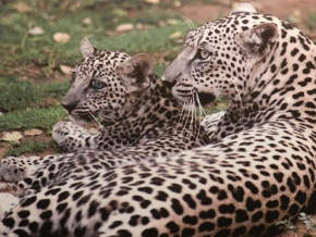 The benefits of the Arabian Leopard (part2)