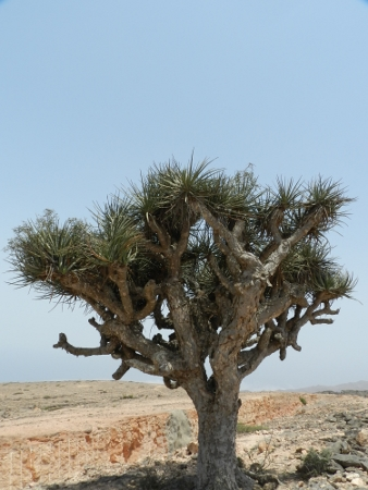 "Dragon tree, is a vulnerable, extremely slow growing tree with mythical origin.  ""The Eleventh Labour of Hercules: The Apples of the Hespérides"". After Landon, a hundred-headed dragon, is slain, red blood flowed out upon the land and from it sprung up the trees that we now know as 'Dragon Trees'. ( Jebal Al Qamar)"
