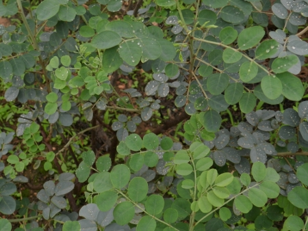Specie of Indigofera, the leaves are used for coloring white textile into indigo. ( Wadi Athoom)