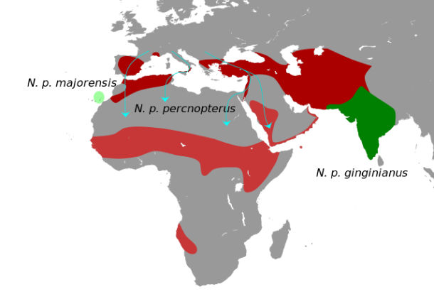Found in much of Africa, southern Europe, Arabia and India; birds in the north-of the range spend the-winter farther south